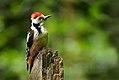 Middle-Spotted Woodpecker (Dendrocopus medius), Forêt de Soignes, Brussels (34248608040).jpg