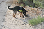 Military Police Dogs Train to Assist ISAF, ANA Locate IEDs, Narcotics DVIDS309801.jpg