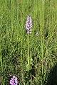 Military orchid - Orchis militaris - panoramio (11).jpg