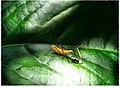 Milkweed Assassin Bug - Flickr - pinemikey.jpg
