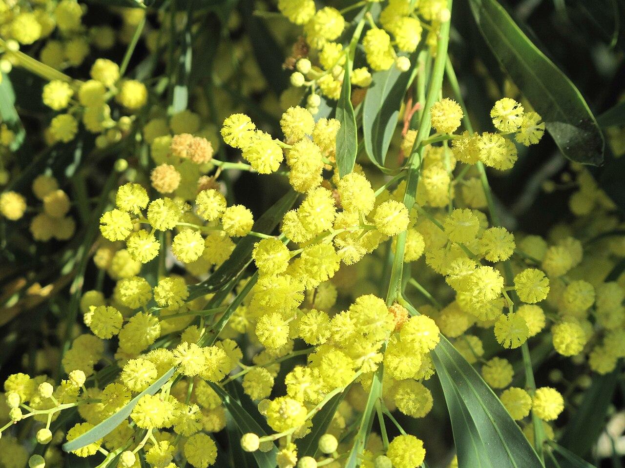 Fichier mimosa des 4 saisons wikip dia - Taille citronnier 4 saisons ...