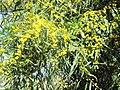Mimosa du chemin des pins 2.jpg