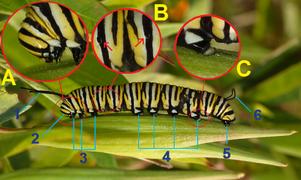 Monarch Butterfly Danaus plexippus Vertical Caterpillar 2000pxdeflines.png