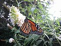 Monarch Feeding - panoramio.jpg
