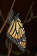 Monarch butterfly with its pupa case.jpg