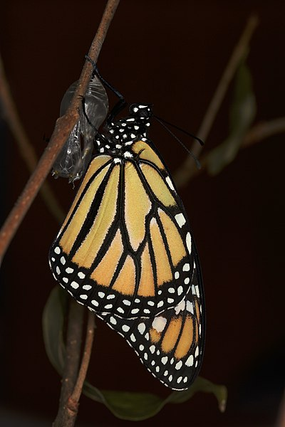 Motýľ danaus plexippus tesne po premene z kukly