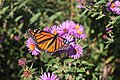 Monarch on aster.JPG