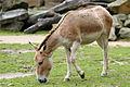 Mongools steppepaard (4023673682).jpg