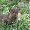 Mongoose 3 (30522183992).jpg