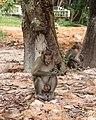Monkey in Sihanoukville Province.jpg
