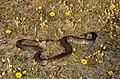 Montpellier Snake (Malpolon monspessulanus) male (36518900366).jpg