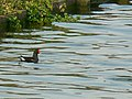 Moorhen on the lake, Lydiard Park - geograph.org.uk - 384560.jpg