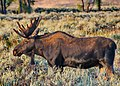 Moose in Gros Ventre Campgroud 4.jpg