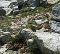 More flowers on the PCT - panoramio - Calaina.jpg