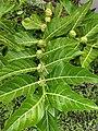 Morinda citrifolia, Indian Mulberry, Kattapitalavam.jpeg