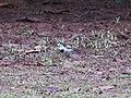 Motacilla alba (43984489064).jpg