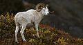 Mouflon de DALL.jpg