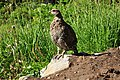 Mount Rainier - September 2017 - White-tailed ptarmigan 05.jpg
