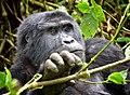 Mountain Gorilla, Bwindi, Uganda (15159207344).jpg
