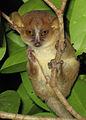 Mouse Lemur in Anjajavy.jpg