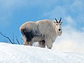 Mt Goat Std Snow 137.jpg