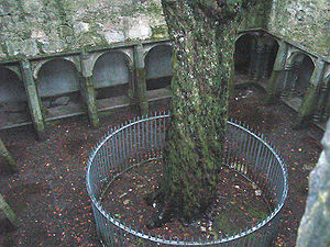 Killarney National Park - Cloistered courtyard in Muckross Abbey.