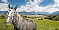Murnauer Moos with horse.jpg