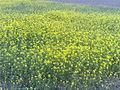 Mustard plantation bangladesh.jpg