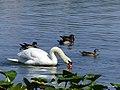 Mute Swan with Wood Duck Escort.jpg
