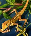 My Garden Lizard (538474889).jpg