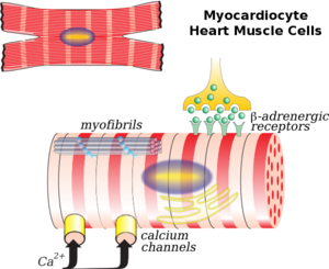 Cardiac muscle cell - Illustration of a myocardiocyte, including organelles and cell membrane functions