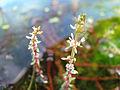 Myriophyllum heterophyllum 5457832.jpg