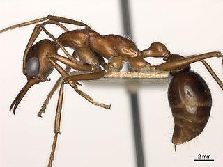 <i>Myrmecia regularis</i> species of insect