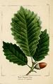 NAS-009 Quercus montana.png