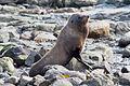 NZ280315 Kaikoura Fur Seal 04.jpg