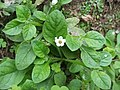 Nama jamaicensis (Boraginaceae) II.jpg