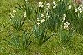 Narcissus tazetta, Agde 03.jpg