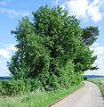 Naturdenkmal Wildbirne im Hochsauerlandkreis bei Dreislar (zu Medebach) an einer Nebenstraße von der Ölfestraße.JPG