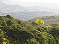 Natureza árvore ipê amarelo IMG 4738.jpg