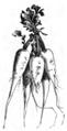 Navet petit de Berlin Vilmorin-Andrieux 1883.png