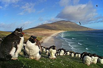 Falkland Islands - Colony of southern rockhopper penguins on Saunders Island