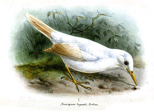 "Grey trembler - Albinistic specimen which was named ""Necropsar leguati"""