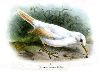 "Grey trembler - Albinistic specimen which was named ""Necropsar leguati"""