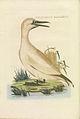 Nederlandsche vogelen (KB) - Morus bassanus (400b).jpg