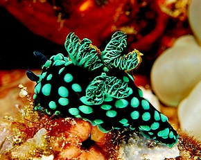 Description de l'image  Nembrotha cristata.jpg.