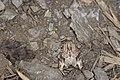 Nepalopolia contaminata (38717535150).jpg