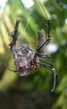 Nephila pilipes caught a Rhinolophoidea bat.png