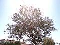 Nerium Oleander in Catanzaro - panoramio.jpg