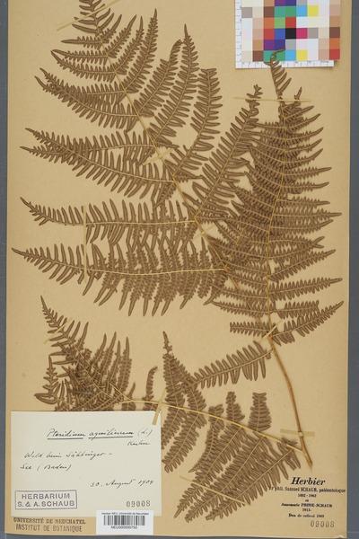 File:Neuchâtel Herbarium - Pteridium aquilinum - NEU000000750.tiff