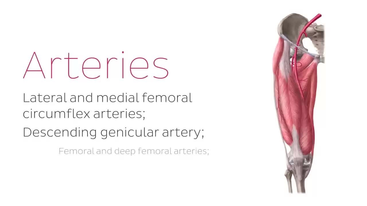 File:Neurovasculature of the hip and thigh (preview) - Human Anatomy ...